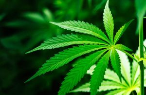 состав марихуаны